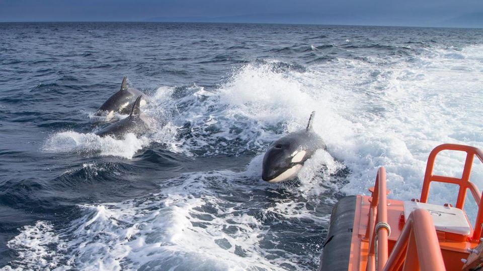 """Rache oder Stress? Die Forscher rätseln, warum die """"Killerwale"""" Boote angreifen"""