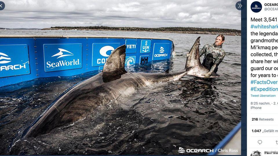 """Ostküste von Kanada: Forscher fangen """"Königin des Ozeans"""": fünf Meter lange und 1600 Kilo schwere Haidame"""