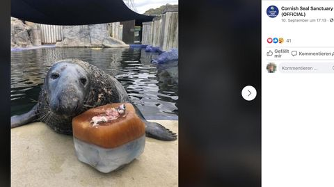 Seerobbe bekommt Eistorte zum 31. Geburtstag – und zeigt sich erfreut
