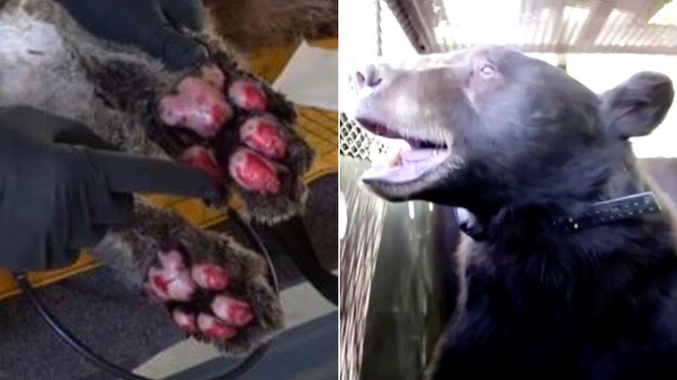 Waldbrände in Kalifornien: Retter behandeln Bären mit Fischhäuten