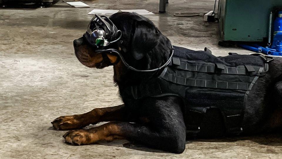 Der Prototyp ist verkabelt, die Hunde an der Leine. Die Firma arbeitet aber bereits an einer drahtlosen Variante.