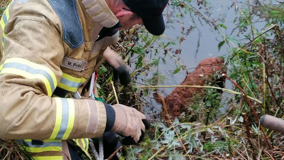 Die Feuerwehr in Hannover hat ein zehn Tage altes Kalb aus der Leine gerettet.
