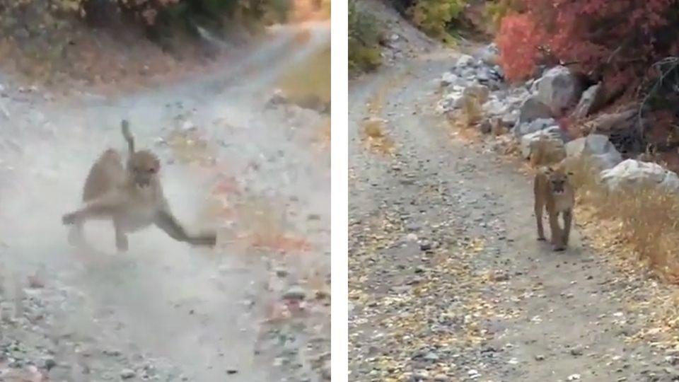 Auf einer Schotterpiste läuft ein Puma durch den Wald