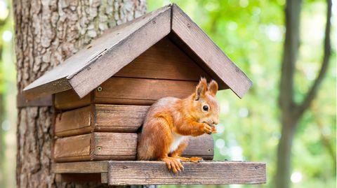 Das Eichhörnchen-Futterhaus sollte in einer angemessenen Höhe platziert werden, um die Nager vor Feinden zu schützen