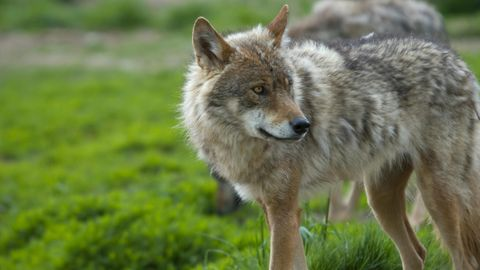 Zahl der Wölfe in Deutschland deutlich gestiegen