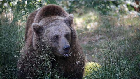 Japaner verwechselt Bärenbaby mit Hund – Bärenmutter greift ein