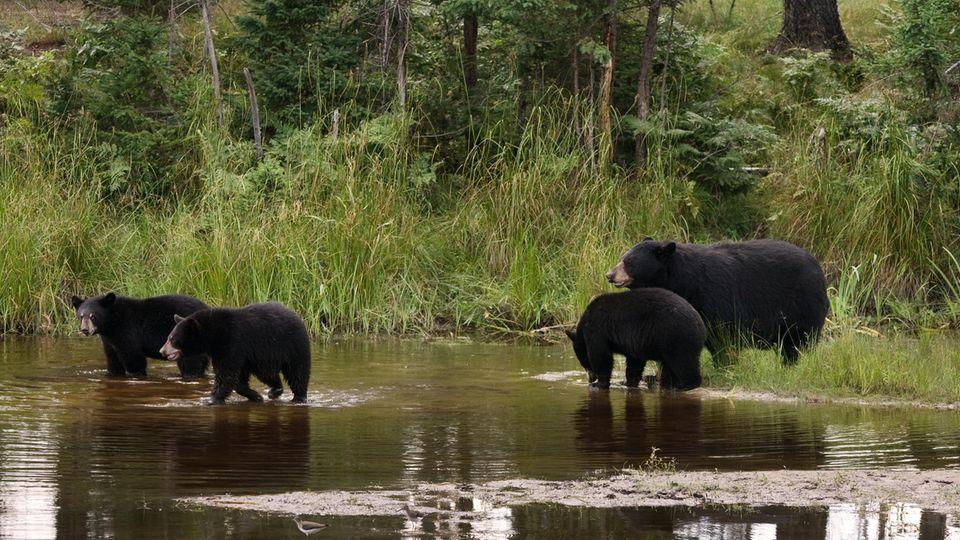 Eine Gruppe Schwarzbären