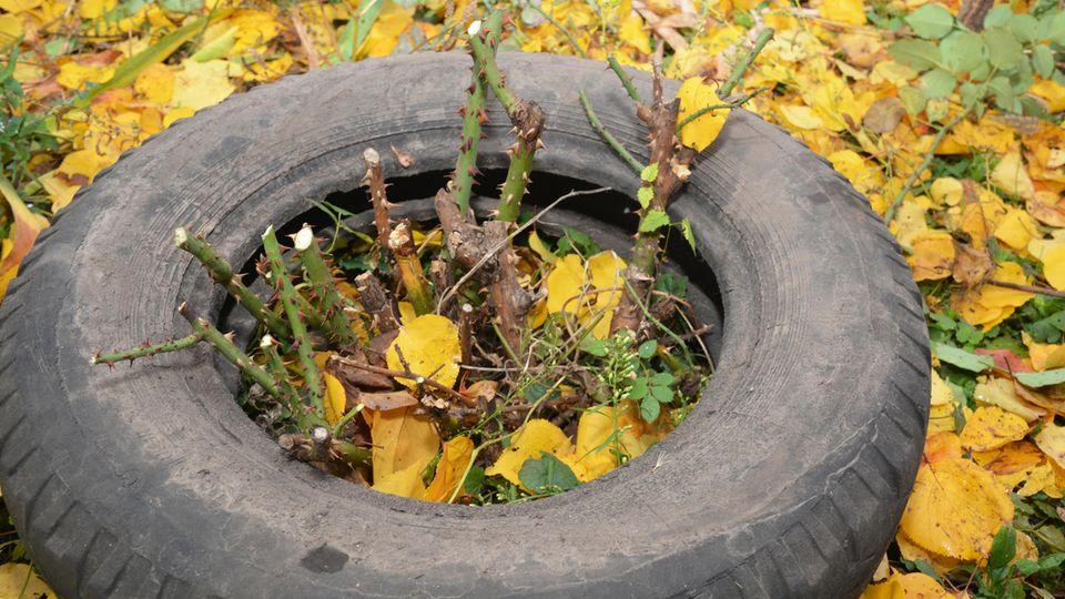 Rosen pflegen und schützen: Rosenstock mit Erde angehäufelt