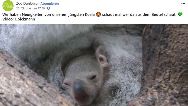 Ein Koala-Baby streckt den Kopf aus dem Beutel seiner mUtter