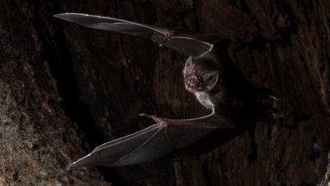 Eine Vampirfledermaus (Desmodus rotundus) bei einem Ausflug.