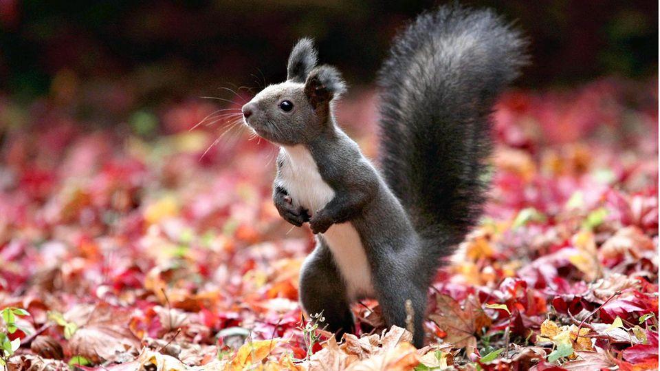 Obihiro, Japan: Die japanische Insel Hokkaido kann mit einigen niedlichen Tierarten aufwarten, die Hobbyfotografen aus dem ganzen Land anlocken. Hier hat ein Hokkaido-Eichhörnchen sich vor die Linse gewagt – wahrlich ein glücklicher Schuss.