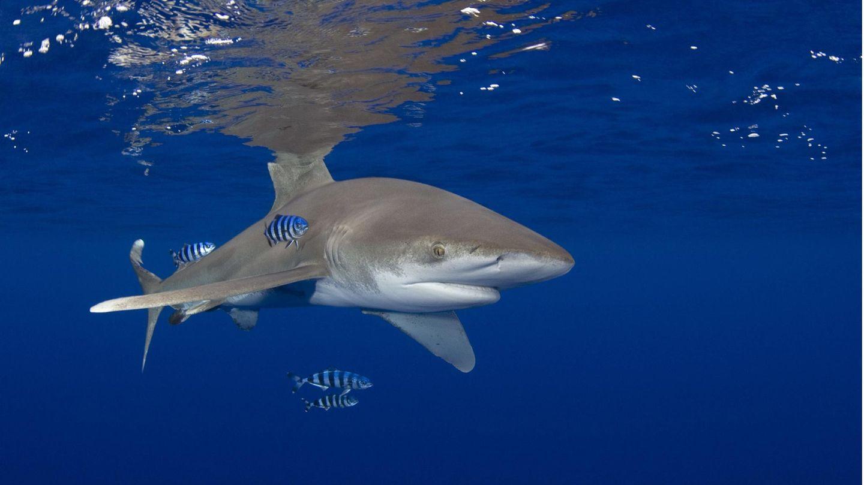 Hochsee-Weißspitzenhai
