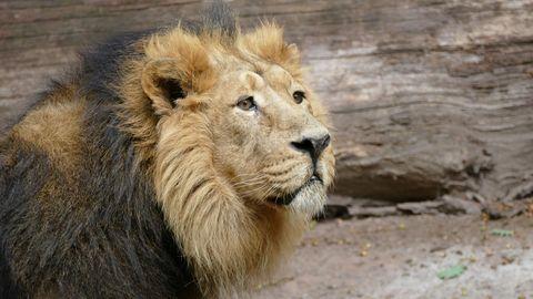 Zoo Nürnberg diskutiert über Tötung eines Löwe.