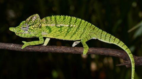 Ein männliches Voeltzkow-Chamäleon (undatierte Aufnahme). Eine Expedition der Zoologischen Staatssammlung München hat das Tier im Nordwesten Madagaskars wieder neu entdeckt