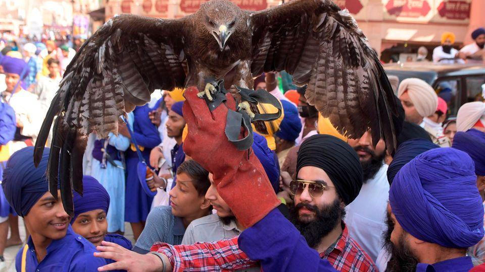 Amritsar, Indien: Ein Sikh hält während einer religiösen Prozession einen Adler hoch.Die Feierlichkeiten finden anlässlich des Geburtstages des vierten Sikh-GurusRam Das am Goldenen Tempel in Amritsar statt.