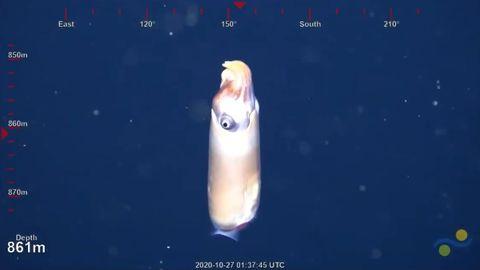 Forschern gelingt sensationelle Aufnahme von seltener Tiefseekreatur
