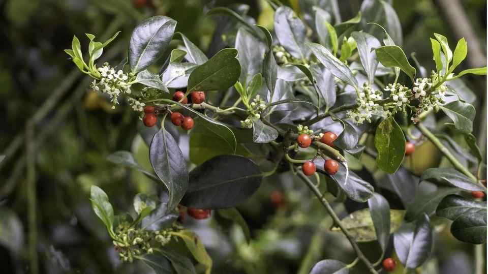 Stechpalme mit Blüten und Beeren, Ilex aquifolium