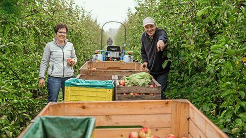Petra und Jan Köpcke bei der Ernte der letzten Äpfel dieses Jahres auf ihrer Plantage in Lühe