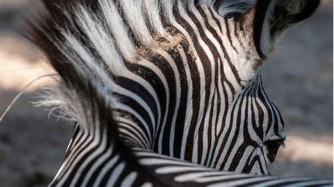 Hinterkopf eines Zebras.