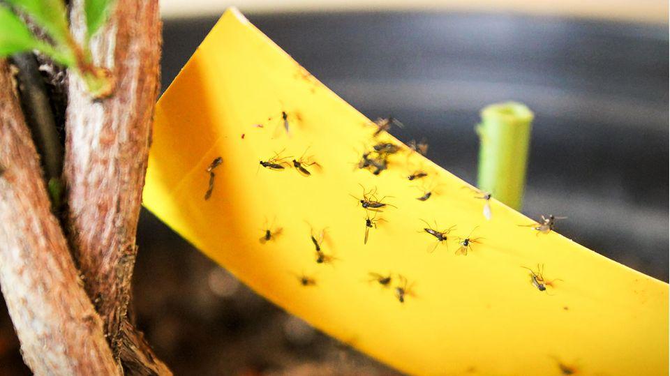 Trauermücken lassen sich effektiv mit sogenannten Gelbfallenbekämpfen