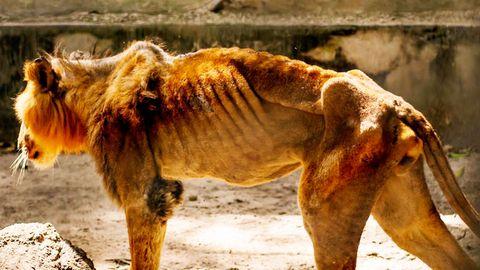 Nigeria: Erfolg für deutsche NGO Wild@Life – Löwen aus Horror-Zoo gerettet