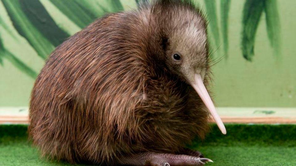 Ein frisch geschlüpfter Kiwi sitzt vor einem grünen Hintergrund
