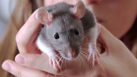 Hausratte Hantavirus Seoulvirus: Eine junge Frau hält eine Ratte in der Hand