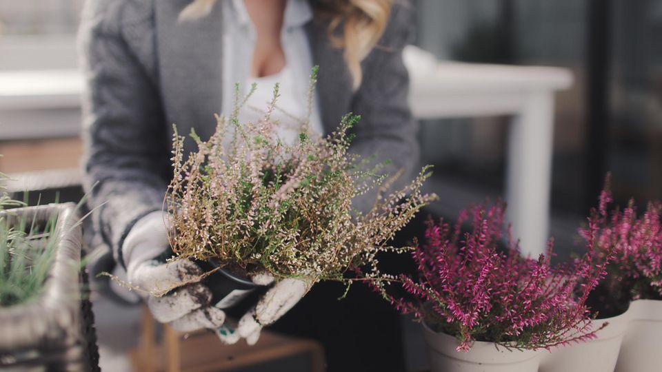 Nicht jede Balkonpflanze kann draußen überwintern