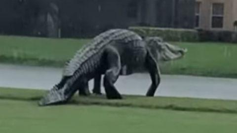 Ein großer Alligator läuft über den Rasen eines Golfplatzes bergab auf einen Teich zu