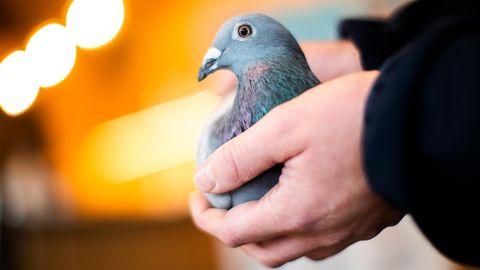 Ein Mitarbeiter des Auktionshauses PIPA für Brieftauben in Belgien hält eine zweijährige Taubendame namens New Kim