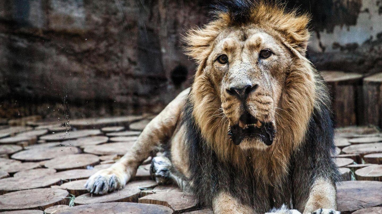 Der Asiatische Löwe Subali liegt im Innengehege des Nürnberger Tiergartens