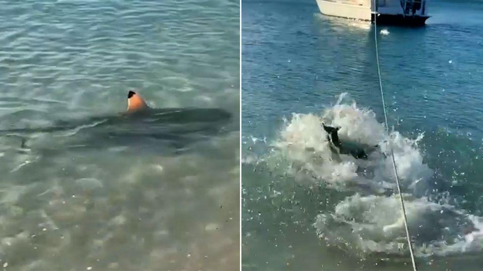 Australien: Hund beschützt sein Herrchen vor einem Hai