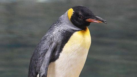 """Nachrichten aus Deutschland – Pinguin-Weibchen """"Oma"""" in Wuppertal gestorben"""