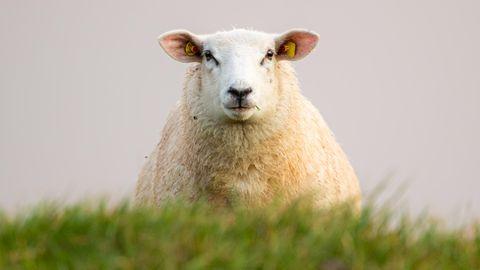 Hooksiel, Deutschland: Beim Spaziergang durch dentraditionsreichen SielortHooksielim Wangerland an der Nordsee hat sich dieses Motiv wohl geradezu aufgedrängt:Neugierig schaut ein Schaf dem Fotografen in die Linse.