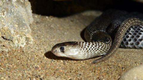 Indische Kobra