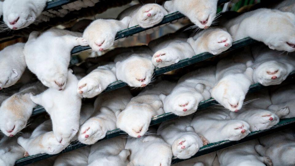 Tote weiße Nerze liegen in einem Regal.