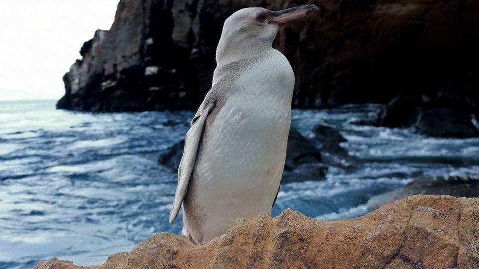 Weißer Pinguin auf den Galapagos-Inseln