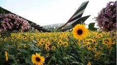 Aus dem Feld der Sonnenblumen ragt die Heckflosse eines Airbus A380 in den Farben der Fluggesellschaft Emirates Airlines heraus.