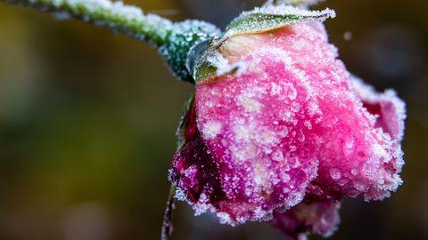 Eiskristalle haben sich am Samstag in Mecklenburg-Vorpommern auf einer Rosenblüte gebildet. Auch in den kommenden Tagen wird es kalt
