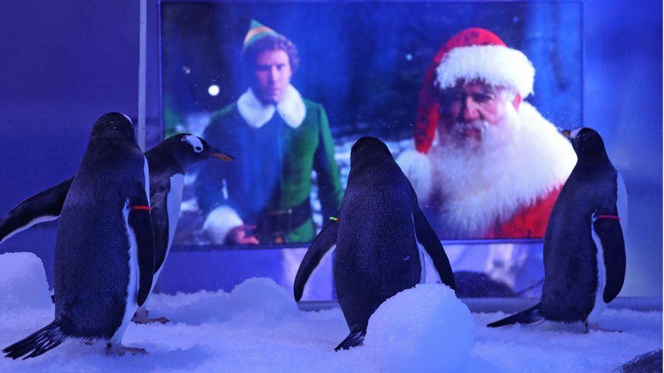 Tierischer TV-Abend im Londoner Sea Life: Die Eselspinguine unterhalten sich mit einem Weihnachtsfilm