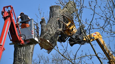 Nachrichten aus Deutschland: Mann stirbt bei Baumfällarbeiten