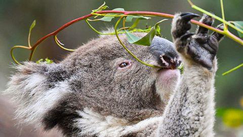 Australien: Koalabär frisst Blätter