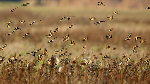Vogel des Jahres 2021: Stieglitze bei der Futtersuche