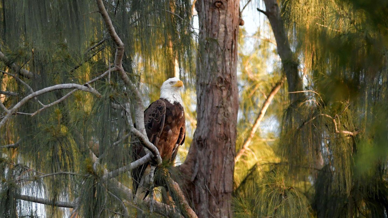 """6. Dezember 1947: Aus einem einzigartigen Feuchtgebietwird ein Nationalpark  Dieser Weißkopfseeadler ist gutgeschützt – der imposante Greifvogel lebt im Everglades Nationalpark in Florida, der heute vor 73 Jahren seinen Status bekam. Spontan denkt man beim Wort """"Everglades""""an eine Sumpflandschaft, aber eigentlich wird das Gebiet im Süden des teils tropischen US-Bundesstaates von einem riesigen, bis zu 60 Kilometer breiten, aber sehr flachen Fluss dominiert, dessen Gewässer sich nur langsam fortbewegt. So langsam, dass man nicht sieht, dass es ein Fluss ist. Der Park ist die Heimat vieler Vogelarten, darunter auch die einzigen wildlebenden Flamingos in den USA. Es gibt Krokodile und Alligatoren, Schildkröten, Schlangen, Seekühe und unzählige Arten von Insekten. Dieses Paradies ist jedoch stark bedroht – einerseits durch die zunehmende Umweltverschmutzung und Eingriffe in den Wasserhaushalt durch den Menschen, andererseits durch eingeschleppte Arten wie den Dunklen Tigerpython, die heimische Tiere dezimieren und damit das Ökosystem bedrohen."""
