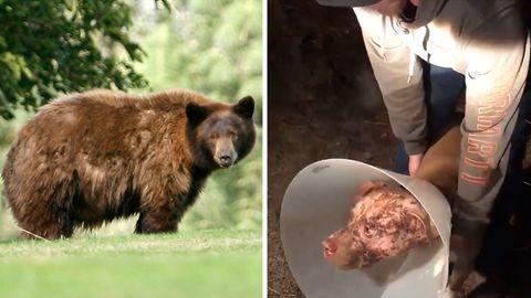 In Kalifornien leben Schwarzbären, die zwar bis zu 250 Kilogramm schwer werden können, im Schnitt aber unter 100 Kilo wiegen