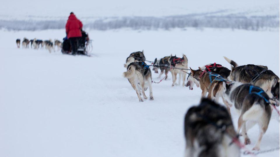 Schlittenhunde in Lappland