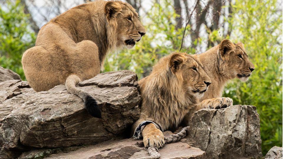 Vier Löwen haben sich in einem Zoo in Barcelona mit Covid-19 infiziert