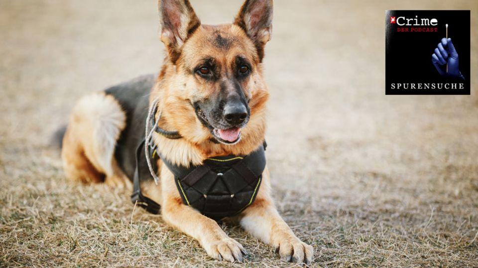 """Podcast """"Spurensuche"""": Was Mantrailer-Hunde wirklich können"""
