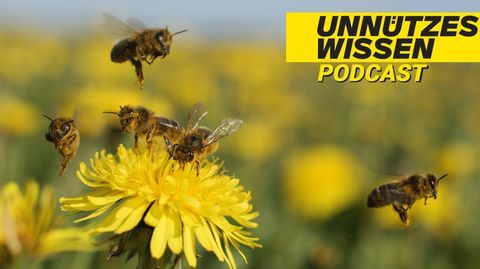 """Podcast """"Unnützes Wissen"""": Bienen können Fremdsprachen lernen"""