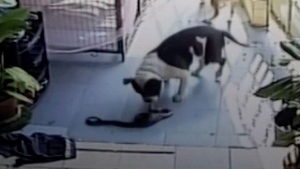 Hund beschützt Haus vor Kobra und bezahlt dafür mit seinem Leben